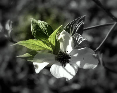 Photograph - Dogwood Blossom by Peg Urban