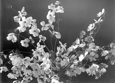 Photograph - Dogwood Blossom by William Haggart