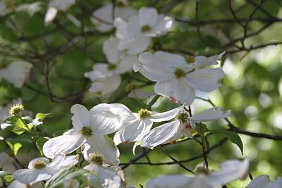 Dogwood Photograph - Dogwood Blossoms 3 by Cathy Lindsey