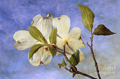 Dogwood Blossoms And Blue Sky - D007963-b Print by Daniel Dempster