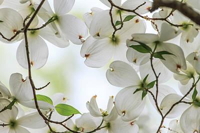 Photograph - Dogwood Blossoms by Ben Graham