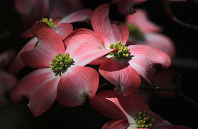 Dogwood Blossoms Art Print by Donna Kennedy