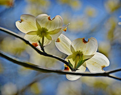 Dogwood Blossoms Art Print by Linda Brown