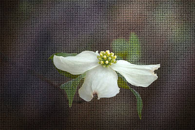 Photograph - Dogwood by Cindy Rubin