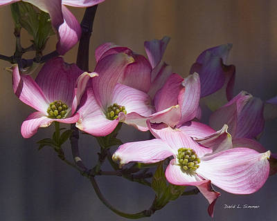 Photograph - Dogwood by David Simmer