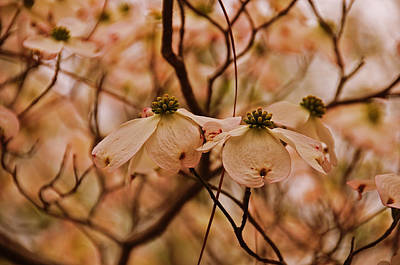 Art Print featuring the photograph Dogwood Day Afternoon by John Harding