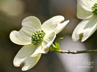 Dogwood Delight Art Print by Eve Spring
