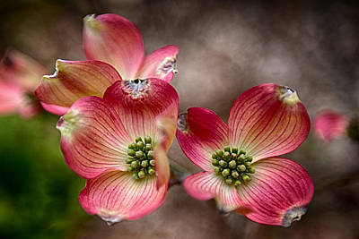 Photograph - Dogwood Delight by John Haldane