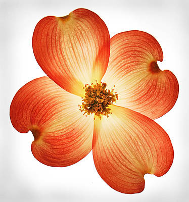 Photograph - Dogwood Flower by Robert Woodward
