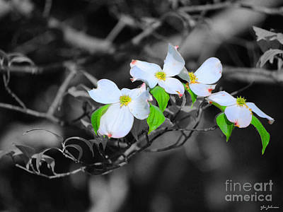Photograph - Dogwood Flowers by Jai Johnson