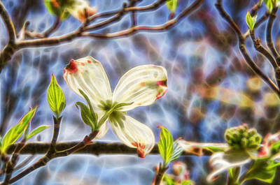 Photograph - Dogwood Glowing In The Sunlight by Beth Sawickie
