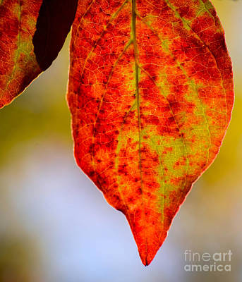 Photograph - Dogwood In Autumn by Amy Porter