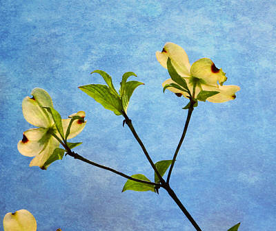 Photograph - Dogwood In Spring by Deena Stoddard