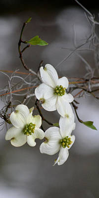 Photograph - Dogwood Ip by rs Erickson