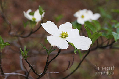 Dogwood Art Print by Jonathan Welch