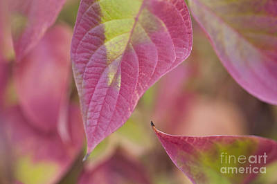 Photograph - Dogwood Leaves by Jim Corwin