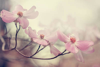 Pink Flowers Photograph - Dogwood by Magda  Bognar