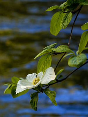 Dogwood On The Merced Art Print by Bill Gallagher