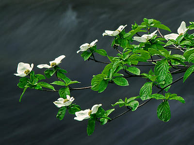 Photograph - Dogwood On The Merced by Robert Woodward