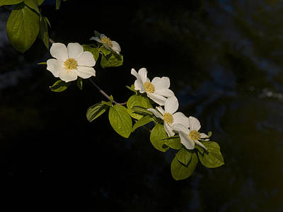 Dogwood Photograph - Dogwood On The River by Bill Gallagher