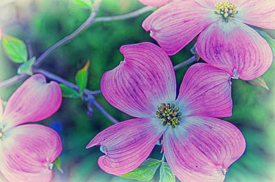 Photograph - Dogwood Pastel by Paul Miller