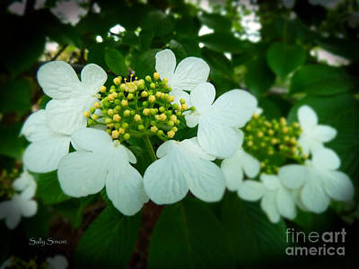Photograph - Dogwood by Sally Simon