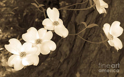 Photograph - Dogwood Sepia by Andrea Anderegg