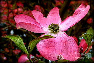 Photograph - Dogwood Shows Pink by Susan Garren