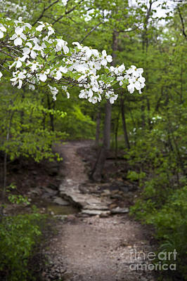 Arkansas Photograph - Dogwood Tree Along A Wooded Arkansas Trail by Brandon Alms