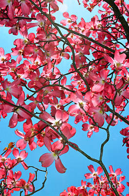Dogwood Tree Flowers And Blue Sky Art Print