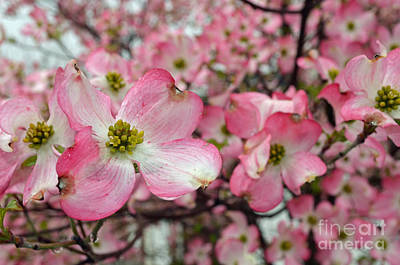Digital Art - Dogwood Tree Flowers by Eva Kaufman