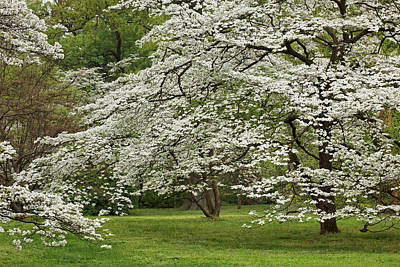 Adam Photograph - Dogwood Tree In Full Bloom, Audubon by Adam Jones