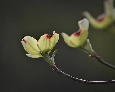 Marykzeman Photograph - Dogwood Tree by Mary Zeman