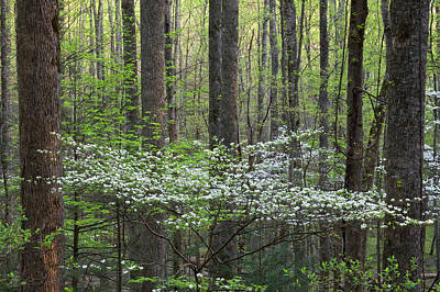 Tremont Photograph - Dogwood Trees In A Forest, Little by Panoramic Images
