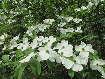 Photograph - Dogwoods by Diannah Lynch