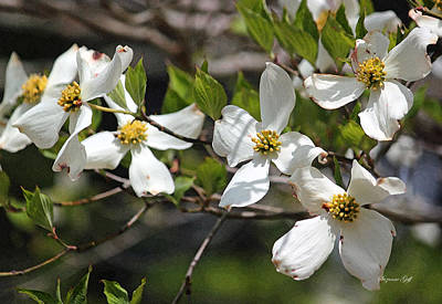 Dogwoods In Bloom Art Print by Suzanne Gaff