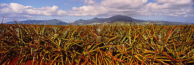 Dole Photograph - Dole Pineapple Farm, North Shore, Oahu by Panoramic Images