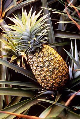 Pineapple Photograph - Dole Pineapple Plantation, Oahu, Hawaii by Ned Haines