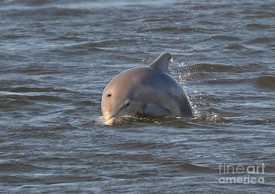 Photograph - Dolphin Dive by Kathy Baccari