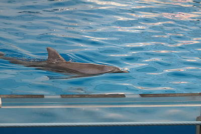 Dolphin Show - National Aquarium In Baltimore Md - 121215 Print by DC Photographer