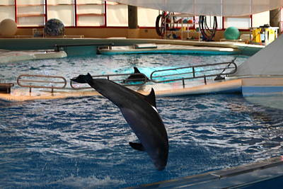 Dolphin Show - National Aquarium In Baltimore Md - 1212216 Art Print