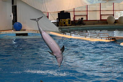 Dolphin Show - National Aquarium In Baltimore Md - 1212268 Art Print by DC Photographer