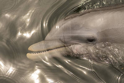 Dolphin Showing His Teeth Art Print by Laurence Levine
