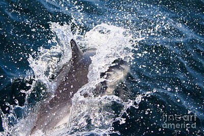 Photograph - Dolphin Splash by John Wadleigh