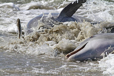 Photograph - Dolphin Strand Feeding 1 by Kevin McCarthy