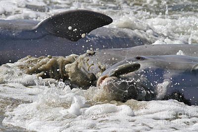 Photograph - Dolphin Strand Feeding 3 by Kevin McCarthy