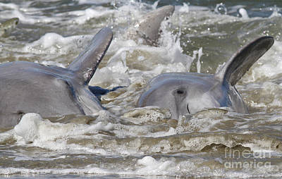 Photograph - Dolphin Strand Feeding 4 by Kevin McCarthy