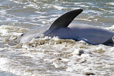 Photograph - Dolphin Strand Feeding by Kevin McCarthy