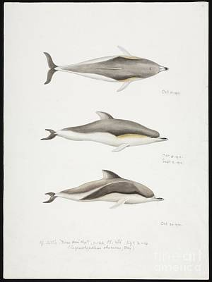 Dr. Teeth Photograph - Dolphins, Artwork by Natural History Museum, London
