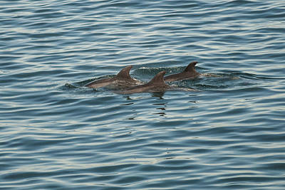 Photograph - Dolphins by Lee Kirchhevel
